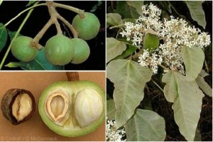 kukui nuts, kukui flowers and open kukui nut images in one