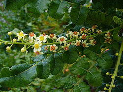Sacred Frankincense leaves and flowers of Boswellia