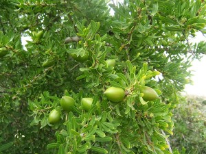 Organic Argan Tree with Fruit used to make Argan Oil