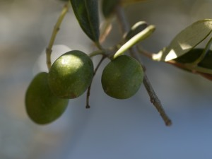 Sevani cruelty free olive squalane