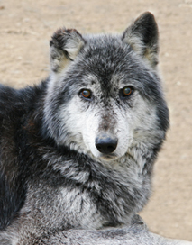sevani supports wolf sanctuary of pa thor