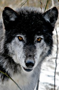 Sevani wolf sanctuary support