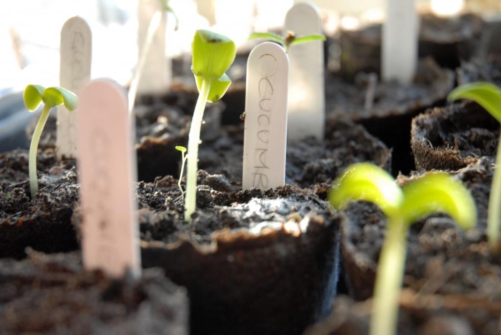 Sevani organic garden seedlings