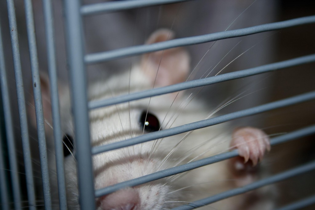 mouse in cage animal testing