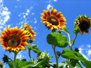 organic sunflowers with red and yellow petals agains blue sky