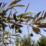 Olive Squalane: Fighting Free Radicals & Aging Naturally!